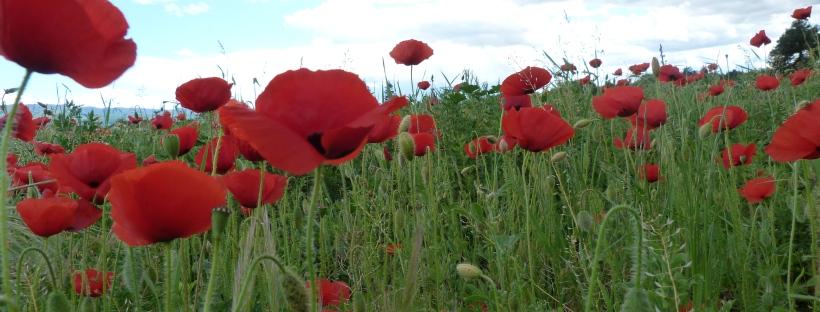coquelicots en fleurs dans un champ